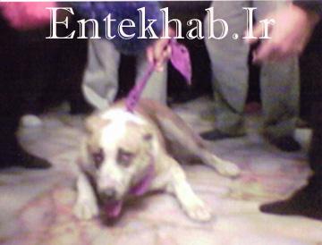 سگی با دخيل شدن به حرم امام رضا  شروع به گريه كرد